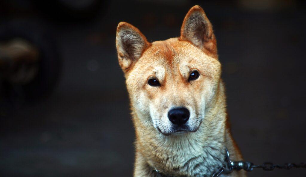 韓国の犬種